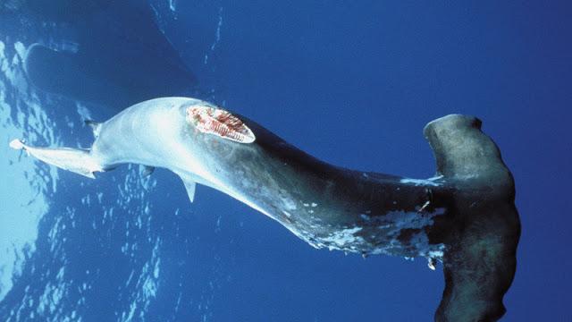 shark left to die itself